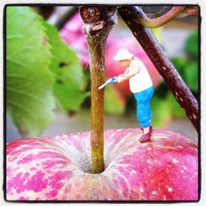 appel oogsten